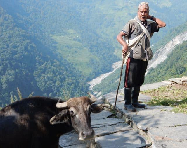 Buffalo-Hearder-Nepal