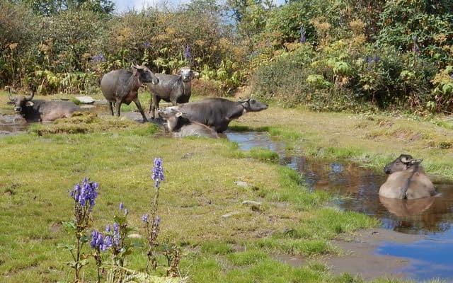 Buffaloes-Mardi-Himal