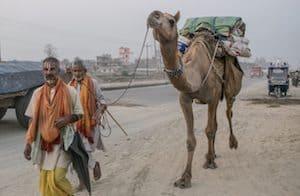Camel-Nepal