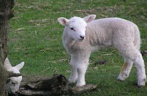 Cute little Sheep in the Peak District