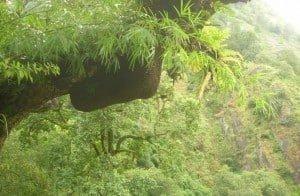 Himalayan-Bees-Nest