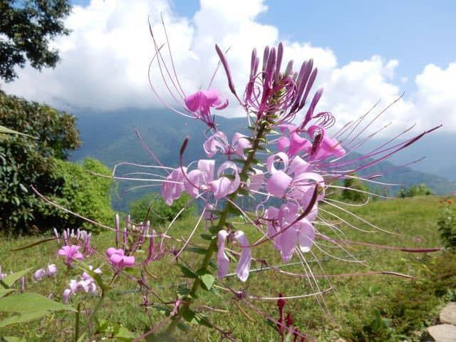 Himalayan Flower