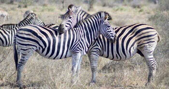 /Kilimanjaro safari zebras