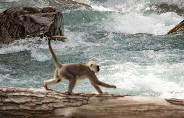 Monkey-on-Log
