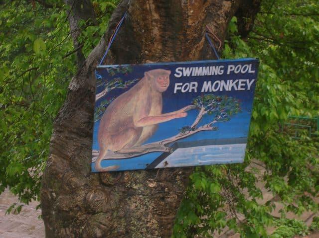monkey_swimming_pool_16