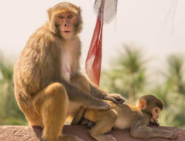 Monkeys-Nepal