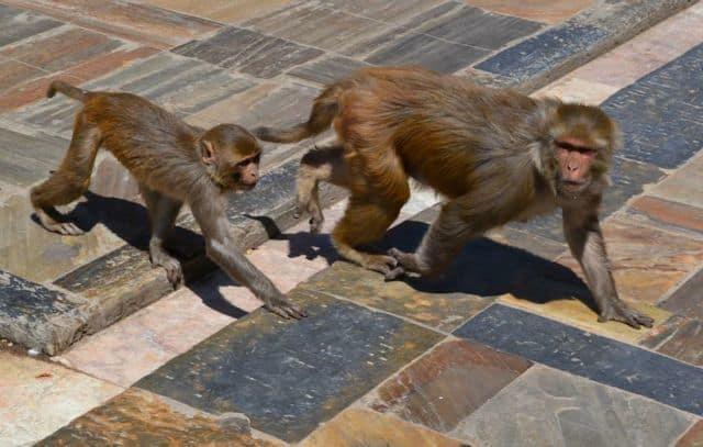 Monkeys_Kathmandu_44