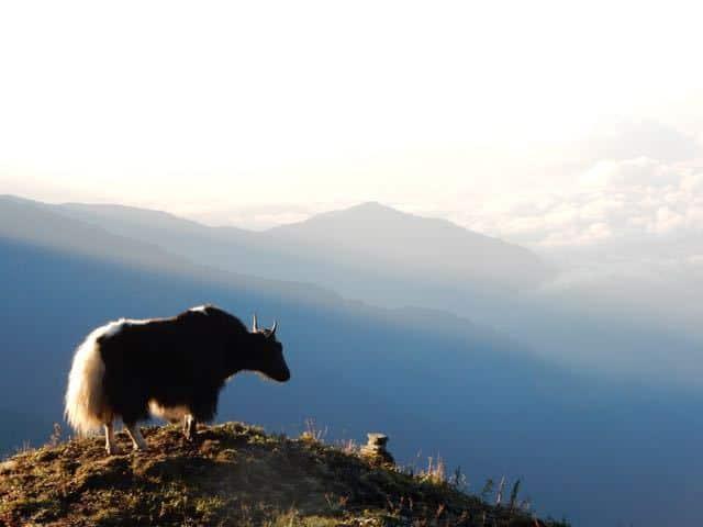 Mountain-Yak