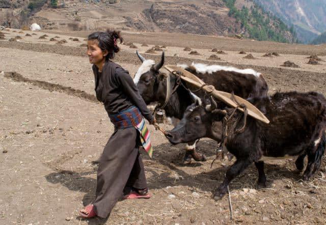 Nepali-Lady-Ploughing-Field