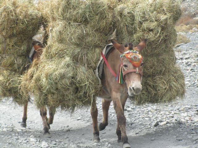Pack_Donkey_36