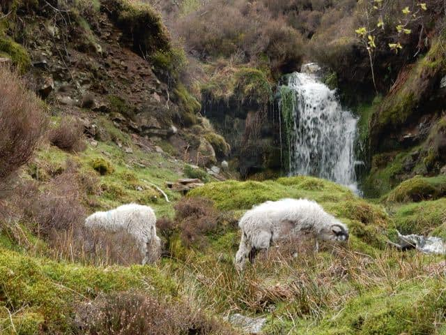 Peak-District-Sheep-waterfall