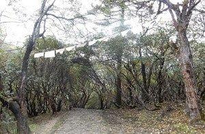 Rhododendron-Forest-Everest-Trek