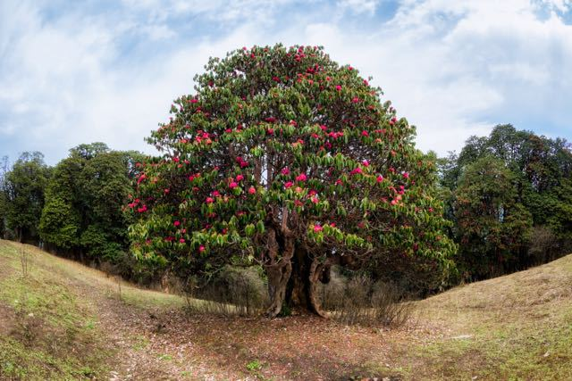 Rhododendron-Tree-Nepal