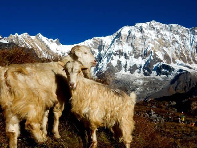 South-Face-Annapurna-Goat