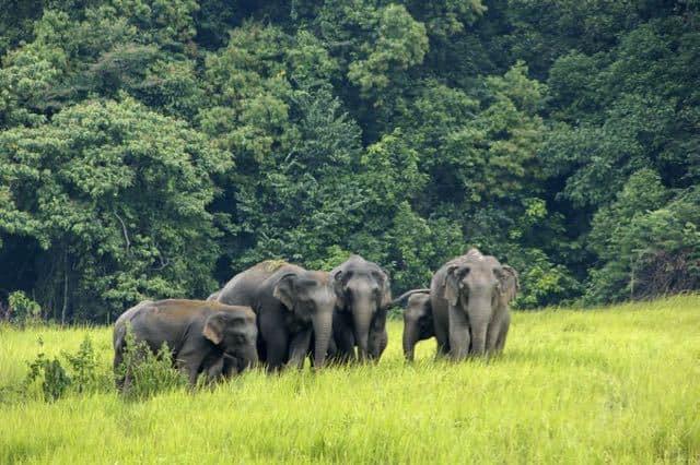 Wild-Elephants-Thailand (1)
