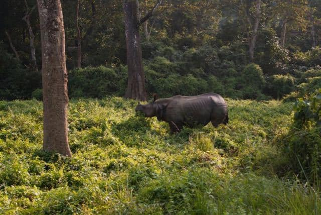 Wild Rhino on Safari in Chitwan