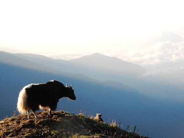 Yak-Mardi-Himal