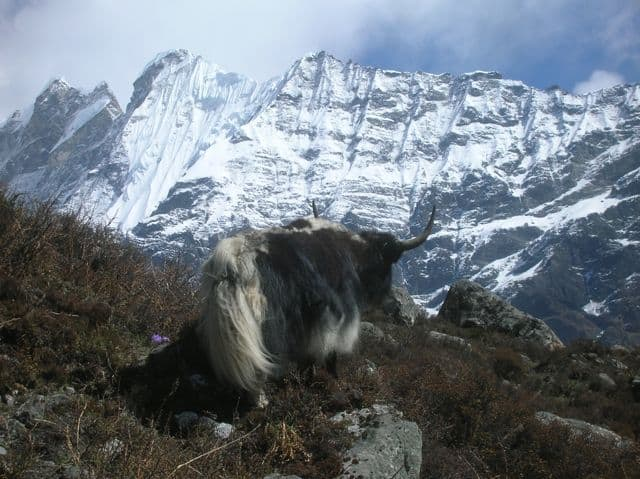 Yak_high_in_the_Himalaya_43
