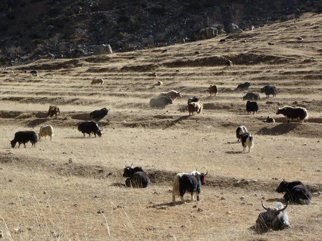 Yaks Nepal