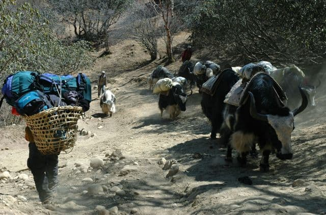 Yaks_and_porter_in_the_Nepalese_Himalaya_10