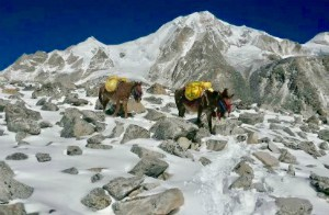 Mules on Everest Base Camp
